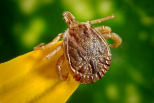 Ticks can carry serious diseases.